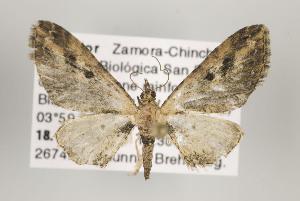 (Eupithecia duena - ID 16195)  @15 [ ] Copyright (2010) Gunnar Brehm Institut fuer Spezielle Zoologie und Evolutionsbiologie, Friedrich-Schiller Universitat Jena