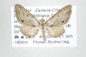 (Eupithecia higa - ID 17791)  @14 [ ] Copyright (2010) Gunnar Brehm Institut fuer Spezielle Zoologie und Evolutionsbiologie, Friedrich-Schiller Universitat Jena