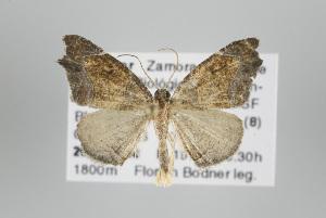 (Callipseustes - ID 17818)  @14 [ ] Copyright (2010) Gunnar Brehm Institut fuer Spezielle Zoologie und Evolutionsbiologie, Friedrich-Schiller Universitat Jena