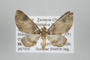 (Eupithecia cupreata - ID 17840)  @14 [ ] Copyright (2010) Gunnar Brehm Institut fuer Spezielle Zoologie und Evolutionsbiologie, Friedrich-Schiller Universitat Jena