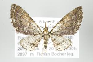 (Eupithecia disformata - ID 17891)  @15 [ ] Copyright (2010) Gunnar Brehm Institut fuer Spezielle Zoologie und Evolutionsbiologie, Friedrich-Schiller Universitat Jena