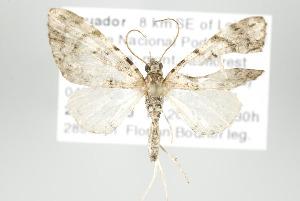 (Eupithecia drastica - ID 17925)  @14 [ ] Copyright (2010) Gunnar Brehm Institut fuer Spezielle Zoologie und Evolutionsbiologie, Friedrich-Schiller Universitat Jena