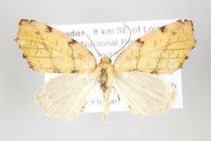 (Hemixera - ID 17930)  @15 [ ] Copyright (2010) Gunnar Brehm Institut fuer Spezielle Zoologie und Evolutionsbiologie, Friedrich-Schiller Universitat Jena