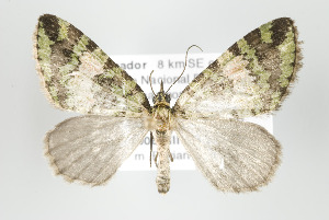 (Hydriomena algosa - ID 17942)  @15 [ ] Copyright (2010) Gunnar Brehm Institut fuer Spezielle Zoologie und Evolutionsbiologie, Friedrich-Schiller Universitat Jena