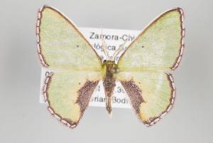 (Synchlora nr. amplimaculata - ID 15826)  @14 [ ] Copyright (2010) Gunnar Brehm Institut fuer Spezielle Zoologie und Evolutionsbiologie, Friedrich-Schiller Universitat Jena