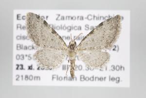 (Eupithecia costivallata - ID 15844)  @14 [ ] Copyright (2010) Gunnar Brehm Institut fuer Spezielle Zoologie und Evolutionsbiologie, Friedrich-Schiller Universitat Jena