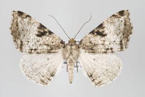 (Neodora - ID 16424)  @15 [ ] Copyright (2010) Gunnar Brehm Institut fuer Spezielle Zoologie und Evolutionsbiologie, Friedrich-Schiller Universitat Jena