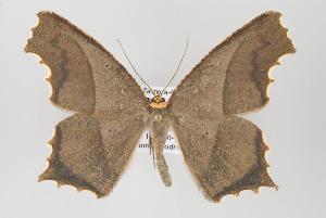 (Eutomopepla - ID 16460)  @15 [ ] Copyright (2010) Gunnar Brehm Institut fuer Spezielle Zoologie und Evolutionsbiologie, Friedrich-Schiller Universitat Jena