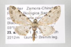 (Eupithecia hilaris - ID 16476)  @13 [ ] Copyright (2010) Gunnar Brehm Institut fuer Spezielle Zoologie und Evolutionsbiologie, Friedrich-Schiller Universitat Jena