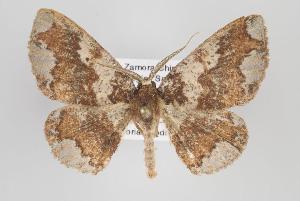 (Lobopola - ID 16690)  @15 [ ] Copyright (2010) Gunnar Brehm Institut fuer Spezielle Zoologie und Evolutionsbiologie, Friedrich-Schiller Universitat Jena
