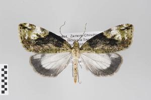 (Salasaca - ID 22003)  @14 [ ] Copyright (2011) Gunnar Brehm Institut fuer Spezielle Zoologie und Evolutionsbiologie, Friedrich-Schiller Universitat Jena