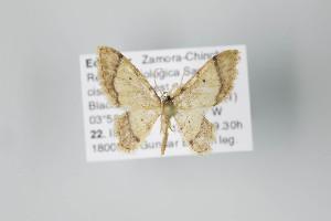 (Idaea nr. iridaria - ID 22054)  @13 [ ] Copyright (2011) Gunnar Brehm Institut fuer Spezielle Zoologie und Evolutionsbiologie, Friedrich-Schiller Universitat Jena
