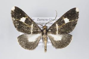 (Melanoscia - ID 22176)  @15 [ ] Copyright (2011) Gunnar Brehm Institut fuer Spezielle Zoologie und Evolutionsbiologie, Friedrich-Schiller Universitat Jena