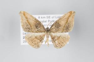 (Stegotheca - ID 22335)  @14 [ ] Copyright (2011) Gunnar Brehm Institut fuer Spezielle Zoologie und Evolutionsbiologie, Friedrich-Schiller Universitat Jena
