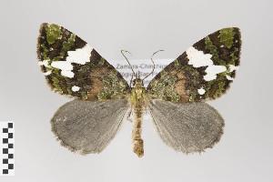 (Hydriomena polyphonta group - ID 22437)  @14 [ ] Copyright (2011) Gunnar Brehm Institut fuer Spezielle Zoologie und Evolutionsbiologie, Friedrich-Schiller Universitat Jena