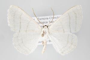 (Lomographa - ID 22468)  @15 [ ] Copyright (2011) Gunnar Brehm Institut fuer Spezielle Zoologie und Evolutionsbiologie, Friedrich-Schiller Universitat Jena