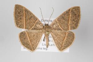 (Mimosema - ID 22513)  @14 [ ] Copyright (2011) Gunnar Brehm Institut fuer Spezielle Zoologie und Evolutionsbiologie, Friedrich-Schiller Universitat Jena