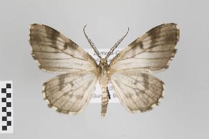 (Gypsara - ID 22557)  @14 [ ] Copyright (2011) Gunnar Brehm Institut fuer Spezielle Zoologie und Evolutionsbiologie, Friedrich-Schiller Universitat Jena