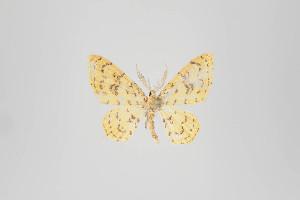 (Eois - ID 22571)  @15 [ ] Copyright (2011) Gunnar Brehm Institut fuer Spezielle Zoologie und Evolutionsbiologie, Friedrich-Schiller Universitat Jena