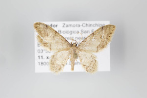 ( - ID 14866)  @13 [ ] Copyright (2011) Gunnar Brehm Institut fuer Spezielle Zoologie und Evolutionsbiologie, Friedrich-Schiller Universitat Jena
