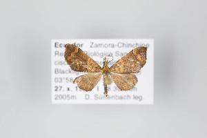 (Psaliodes - ID 14869)  @15 [ ] Copyright (2011) Gunnar Brehm Institut fuer Spezielle Zoologie und Evolutionsbiologie, Friedrich-Schiller Universitat Jena
