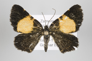 (Heterusia - ID 15000)  @14 [ ] Copyright (2011) Gunnar Brehm Institut fuer Spezielle Zoologie und Evolutionsbiologie, Friedrich-Schiller Universitat Jena