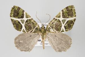 (Hydriomena multangulata - ID 15113)  @14 [ ] Copyright (2011) Gunnar Brehm Institut fuer Spezielle Zoologie und Evolutionsbiologie, Friedrich-Schiller Universitat Jena