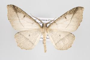 (Budara - ID 15208)  @15 [ ] Copyright (2011) Gunnar Brehm Institut fuer Spezielle Zoologie und Evolutionsbiologie, Friedrich-Schiller Universitat Jena