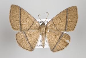 (Mimosema - ID 15459)  @14 [ ] Copyright (2011) Gunnar Brehm Institut fuer Spezielle Zoologie und Evolutionsbiologie, Friedrich-Schiller Universitat Jena