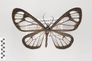 (Erycinopsis - ID 18210)  @13 [ ] Copyright (2011) Gunnar Brehm Institut fuer Spezielle Zoologie und Evolutionsbiologie, Friedrich-Schiller Universitat Jena