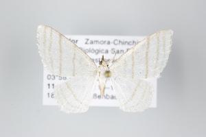 (Leucoctenorrhoe - ID 18259)  @13 [ ] Copyright (2011) Gunnar Brehm Institut fuer Spezielle Zoologie und Evolutionsbiologie, Friedrich-Schiller Universitat Jena
