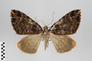 (Deinoptila - ID 18279)  @15 [ ] Copyright (2011) Gunnar Brehm Institut fuer Spezielle Zoologie und Evolutionsbiologie, Friedrich-Schiller Universitat Jena