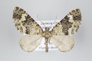 (Perzioma - ID 18283)  @15 [ ] Copyright (2011) Gunnar Brehm Institut fuer Spezielle Zoologie und Evolutionsbiologie, Friedrich-Schiller Universitat Jena