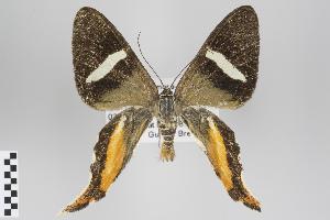 (Erateina - ID 18294)  @15 [ ] Copyright (2011) Gunnar Brehm Institut fuer Spezielle Zoologie und Evolutionsbiologie, Friedrich-Schiller Universitat Jena