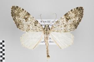 (Graphidipus - ID 18528)  @15 [ ] Copyright (2011) Gunnar Brehm Institut fuer Spezielle Zoologie und Evolutionsbiologie, Friedrich-Schiller Universitat Jena