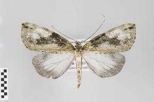 (Salasaca - ID 22849)  @14 [ ] Copyright (2011) Gunnar Brehm Institut fuer Spezielle Zoologie und Evolutionsbiologie, Friedrich-Schiller Universitat Jena