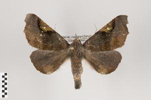 (Nepitia - ID 44625)  @15 [ ] Copyright (2011) Gunnar Brehm Institut fuer Spezielle Zoologie und Evolutionsbiologie, Friedrich-Schiller Universitat Jena