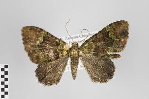 (Euphyia - ID 45422)  @15 [ ] Copyright (2011) Gunnar Brehm Institut fuer Spezielle Zoologie und Evolutionsbiologie, Friedrich-Schiller Universitat Jena
