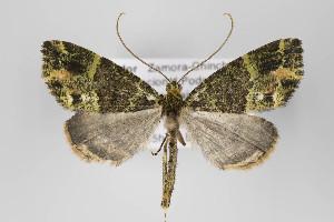 (Rucana - ID 18684)  @15 [ ] Copyright (2013) Gunnar Brehm Institut fuer Spezielle Zoologie und Evolutionsbiologie, Friedrich-Schiller Universität Jena