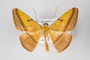 (Pyrinia - ID 18701)  @15 [ ] Copyright (2013) Gunnar Brehm Institut fuer Spezielle Zoologie und Evolutionsbiologie, Friedrich-Schiller Universität Jena