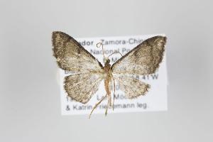 (Ptychamalia nubila - ID 19205)  @13 [ ] Copyright (2013) Gunnar Brehm Institut fuer Spezielle Zoologie und Evolutionsbiologie, Friedrich-Schiller Universität Jena