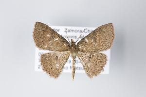 (Cyclophora nr. torsivena - ID 19336)  @15 [ ] Copyright (2013) Gunnar Brehm Institut fuer Spezielle Zoologie und Evolutionsbiologie, Friedrich-Schiller Universität Jena