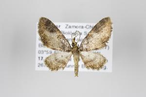 (Eupithecia cupreata - ID 19861)  @14 [ ] Copyright (2013) Gunnar Brehm Institut fuer Spezielle Zoologie und Evolutionsbiologie, Friedrich-Schiller Universität Jena