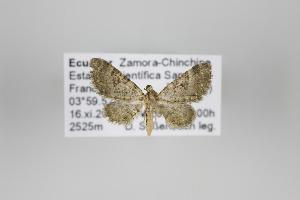 (Eupithecia batida - ID 24102)  @13 [ ] Copyright (2013) Gunnar Brehm Institut fuer Spezielle Zoologie und Evolutionsbiologie, Friedrich-Schiller Universität Jena