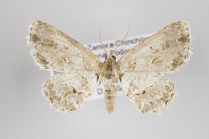 (Bryoptera - ID 24155)  @15 [ ] Copyright (2013) Gunnar Brehm Institut fuer Spezielle Zoologie und Evolutionsbiologie, Friedrich-Schiller Universität Jena