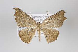 (Aventiopsis - ID 24157)  @14 [ ] Copyright (2013) Gunnar Brehm Institut fuer Spezielle Zoologie und Evolutionsbiologie, Friedrich-Schiller Universität Jena