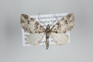 ( - ID 25059)  @13 [ ] Copyright (2014) Gunnar Brehm Institut fuer Spezielle Zoologie und Evolutionsbiologie, Friedrich-Schiller Universität Jena