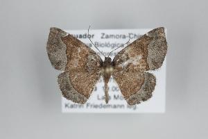 (Microxydia - ID 25088)  @15 [ ] Copyright (2014) Gunnar Brehm Institut fuer Spezielle Zoologie und Evolutionsbiologie, Friedrich-Schiller Universität Jena