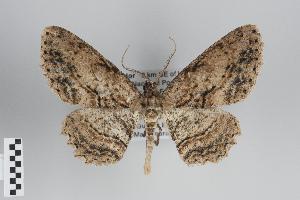 (Odysia - ID 49332)  @14 [ ] Copyright (2014) Gunnar Brehm Institut fuer Spezielle Zoologie und Evolutionsbiologie, Friedrich-Schiller Universität Jena