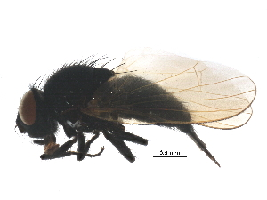 (Lonchaeidae - BIOUG08045-D05)  @14 [ ] CC-0 (2014) CBG Photography Group Centre for Biodiversity Genomics